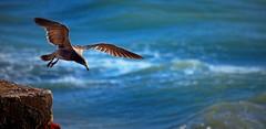 IMG_7300 Wild flight (Rodolfo Frino) Tags: wild wildflight flight gull seagull sea ocean water agua mar oceano argentina mardelplata foam espuma wow flying fly natura colorful colourful colorido colorida hover hovering wave waves ola olas
