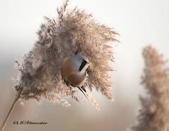 Baardman (man) / Panurus biarmicus (m.ritmeester) Tags: bruin ngc naturelovers natuur nederland baardman zuidholland wit