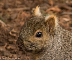 Punky ears (rdroniuk) Tags: squirrels graysquirrel easterngraysquirrel sciuruscarolinensis animaux mammiferes cureuil cureuilgrisdelest