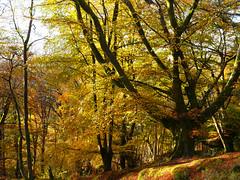 Beech woodland, Bracklinn Falls, Callander (Niall Corbet) Tags: scotland perthshire callander bracklinnfalls autumn woodland forest beech fagussylvatica