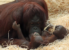 orangutan ouwehands JN6A6885 (j.a.kok) Tags: orangutan orangoetan orang monkey motherandchild moederenkind ape aap primaat primate ouwehands ouwehandsdierenpark ouwehandszoo mammal zoogdier