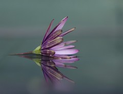 Transience / Vergankelijkheid (peeteninge) Tags: transience vergankelijkheid flowers flora bloemen purple paars reflections reflecties nature natuur water outdoor sonyrx10 sony