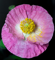 Amapola (M. Fabiana M.) Tags: amapola flower nikon d5300 1855mm