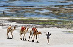 Camel train, Camel advertising and a Coral Reef - Diani Beach, South Mombasa. (One more shot Rog) Tags: camel camels humpcamel humpsanimalsship desertwatercamel ridesdiani beachmombasakenyaafricasafaridesertsandysanddryroger sargent wildlife photographyone more shot rogcarryukundaafrican