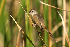 Plain Prinia - Prinia inornata (Roger Wasley) Tags: plain prinia inornata bird velavadar national park gujarat india indian birds wren warbler white browed cisticolidae