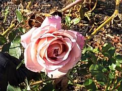 KokoLoco rose in December (MissyPenny) Tags: rose kokoloco garden pink bristolpennsylvania usa