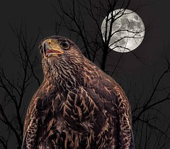 Nighthawk (Wes Iversen) Tags: grandblanc hss holly michigan michiganrenaissancefestival nikkor18300mm sliderssunday supermoon tamron150600mm birds composites hawks moon nature raptors silhouettes trees