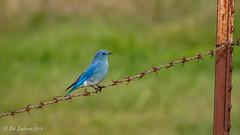 Mountain Bluebird (Bob Gunderson) Tags: alamedacounty birds bluebirds california eastbay mountainbluebird northerncalifornia pattersonpassroad sialiacurrucoides thrushes