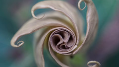Spiral Flower (danielledufour430) Tags: flower pastel swirl twist spiral nature abstract sonya6000