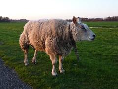 P1020282 (Momo1435) Tags: nederland groene hart alphen meije aarlanderveen ter aar