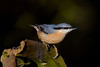 Nutty.... (klythawk) Tags: nuthatch sittaeuropaea autumn nature dof bokeh wildlife blue orange grey green brown black white nikon d500 sigma 150600mmc calkeabbey nationaltrust derbyshire ticknall klythawk