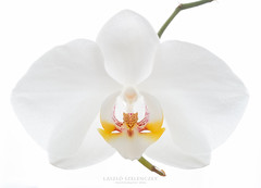 White orchid flower (laszlo.szelenczey) Tags: flower white green macro plant focus nature single hanging orchid branch simple simplicity isolated purity clean wedding spa wellness health