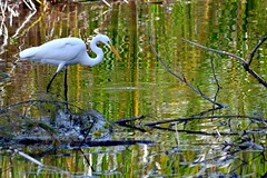 Great Egret in Zigzags (bmasdeu) Tags: missoni zigzag reflections water pond lake wild florida great egret bird wildlife
