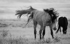 Wild Horses (cuddleupcrafts) Tags: onaqui wild horse herd horses shaking off dirt west desert utah great basin