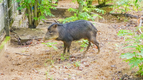 White-lipped peccary at the Paramaribo Zoo
