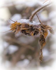 Winter Seedhead (mahar15) Tags: seedhead snow outdoors minnesota winter sunflower nature snowcovered sunflowerseedhead