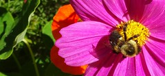 Bumblebee on cosmos, sister-in-law's yard (Martin LaBar) Tags: cosmos hymenoptera asteraceae maine macro flower bombus