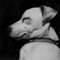 sleeping baby (dinger6314) Tags: instagram jackrussle jt terrier