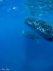 IslaMujeres-39 (Photography by Brian Lauer) Tags: travel mexico photography whale sharks isla islamujeres underwaterphotography whalesharks travelphotography