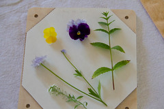 First Press (Annette - A Simple Breath) Tags: mint pansies viola sweetalyssum flowerpress bluelaceflowers