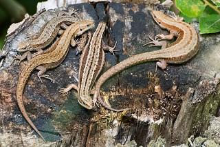 Lizards 02 Lincolnshire 19-08-15 Ian W