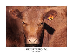 Shorthorn Cattle (sugarbellaleah) Tags: red industry nature animal cow cattle farm quality beef farming australia meat nsw produce agriculture breed livestock herd carcass veal export shorthorn