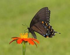 Eastern Tiger Swallowtail, black female form (Papilio glaucus) (AllHarts) Tags: ngc naturesspirit meemanshelbyforest shelbycountytn naturescarousel challengeclubchampions blackfemaleformeasterntigerswallowtail