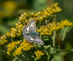 Going for the Gold (Bonnie Ott) Tags: butterfly commoncheckeredskipper pyrguscommunis bonniecoatesott
