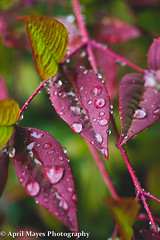 Nandina domestica 2 (April A Mayes) Tags: water dewdrop fallfoliage heavenlybamboo sacredbamboo