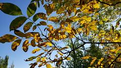 Sonbahar 2 (Autumn) (esginmurat) Tags: autumn trees sky turkey leaf türkiye walnut leafs ceviz gökyüzü giresun yapraklar sonbahar ağaçlar güz şebinkarahisar