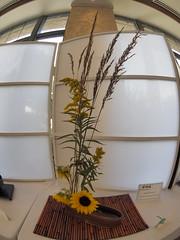 Native Grass, Golden Rod & Sunflower flower arrangement by Nancy Wolf of the Ichiyo & Koryu Schools (nano.maus) Tags: fisheye lauritzengardens japaneseflowerarrangement omahabotanicalsociety japaneseambiencefestival