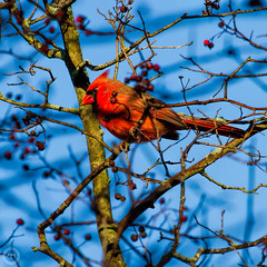 Northern Cardinal (Explored 8 Nov 15 #392) (Mike Matney Photography) Tags: november bird nature birds canon illinois midwest cardinal wildlife edwardsville 2015 eos7d watershednaturecenter