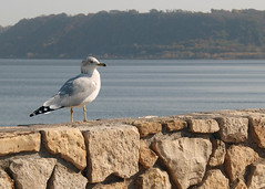Stony Solitude (DewCon) Tags: seagull lakepepin