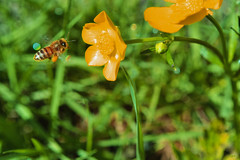 Abeja (Agustín Ignacio Nicolás Vera Valle-Lugine) Tags: chile naturaleza primavera flor colores bee miel sur abeja surdechile volar chaquetaamarilla abejavolando naturalezachilena