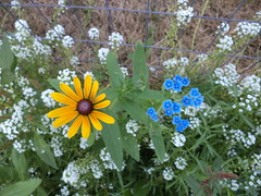 Black-Eyed Susan and Chinese Forget Me Nots (Brandon Blahnik) Tags: white flower me garden susan sweet chinese tall forget alyssum blackeyed not