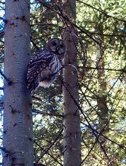 hooo r yooo? (north shore explorer) Tags: owl fromme barred