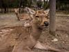 Deer, Deer (-Astin-) Tags: trip travel vacation animals japan deer trips nara canon7d tokina111628