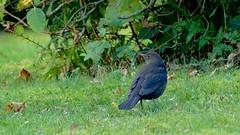 Madame Merle (decuyperbrigitte) Tags: blackbird merle mirlo amsel