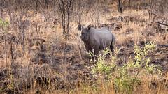 20151103_VictoriaFalls_0301.jpg (eLiL1860) Tags: victoriafalls rhinoceros simbabwe tierwelt safari2015