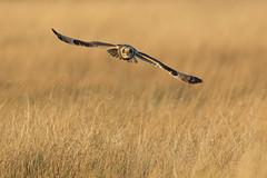 Short-eared owl (Andy Davis Photography) Tags: flying eyes raptor owl shortearedowl asioflammeus