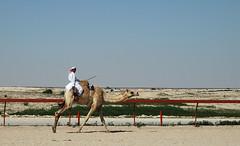 doha camel race (29) (Parto Domani) Tags: animal animals race radio robot corse arabic east camel arab oriente practice middle peninsula medio animali animale  doha qatar corsa arabica cammello  arabo penisola dromedario araber     cammelli  dromedari