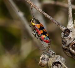 Jewel Beetle resting (ron_n_beths pics) Tags: westernaustralia buprestidae perthbushlands koondoolanr