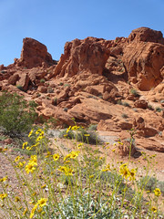 Yellow flowers, oblique view of Elephant Rock, Valley of Fire State Park, Nevada (Paul McClure DC) Tags: valleyoffire statepark nevada clarkcounty scenery geology moapavalley overton march2016
