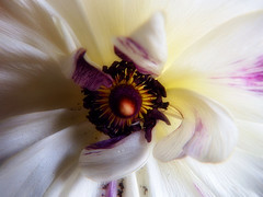 Flower macro (STEHOUWER AND RECIO) Tags: flower macro closeup flora bloem nature white pink yellow purple colours colour leaves bulaklak bluhme  bulak bunga