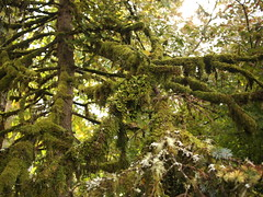 Lobaria pulmonaria on Fir (Bushman.K) Tags: taxonomy:binomial=lobariapulmonaria lichen fir moss liverwort