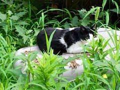 cat (hamapenguin) Tags: animal cat neko straycat