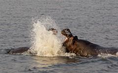 Hippo (Jos Rambaud) Tags: hippopotamus hippo hipopotamo hippopotamusamphibius mammals mamiferos animal animales lucha fight male africa botswana chobe wildlife wild naturaleza nature natureza