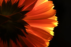 Burnt orange (alideniese) Tags: macromondays backlit macromondaysbacklit calendula marigold flower nature petals light blackbackground orange macro closeup