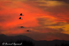 IMG_9910-1 (arvind agrawal) Tags: sandhillcrane cranes crane bird wildlife lodi woodbridgeroad sunset
