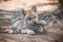 Wolf puppy (camel.arnaud) Tags: loup loups wolf wolves puppy cub louveteau wildlife faune eyes yeux mignon qubec canada